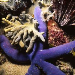 Starfish 26 Underwater - Beverly Factor