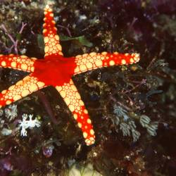 Starfish 27 Underwater - Beverly Factor