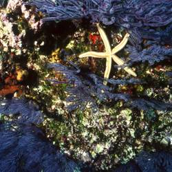 Starfish 43 Underwater - Beverly Factor
