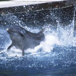 Dolphins 3 Underwater - Beverly Factor