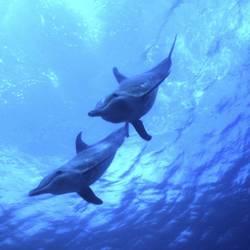 Dolphins 10 Underwater - Beverly Factor