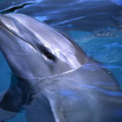 Dolphins 22 Underwater - Beverly Factor