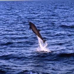 Dolphins 26 Underwater - Beverly Factor