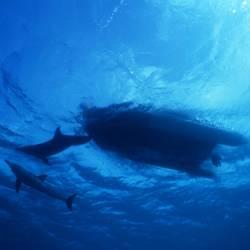 Dolphins 28 Underwater - Beverly Factor