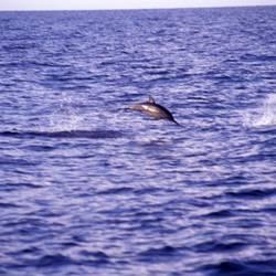 Dolphins 29 Underwater - Beverly Factor