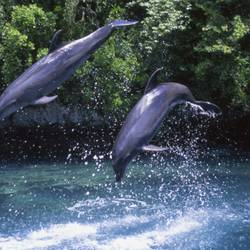 Dolphins 32 Underwater - Beverly Factor
