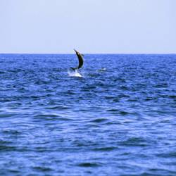 Dolphins 34 Underwater - Beverly Factor