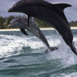 Dolphins 36 Underwater - Beverly Factor