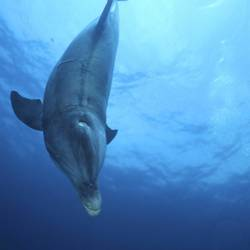 Dolphins 47 Underwater - Beverly Factor