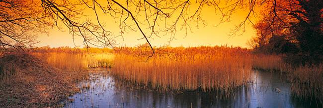 Reeds in pond at sunset, Ted Ellis Nature Reserve, Norfolk, England