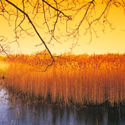 Reeds in pond at sunset, Ted Ellis Nature Reserve, Norfolk, England