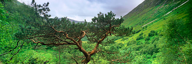 Scots Pine (Pinus sylvestris) trees on a mountain, Glen Nevis, Highlands Region, Scotland