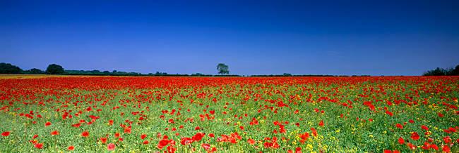Poppies in a rape field, Norfolk, England