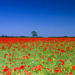 Poppies in a rape field, Norfolk, England