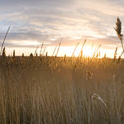 Reeds in a field at sunset, Holkham, Norfolk, England