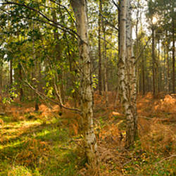 Silver Birch trees (Betula pendula) in early autumn, Thetford Forest, Norfolk, England