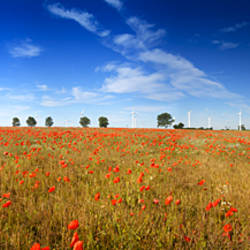 Panoramic shot of poppies in field with wind turbines in distance, East Somerton, Somerton, Norfolk, England