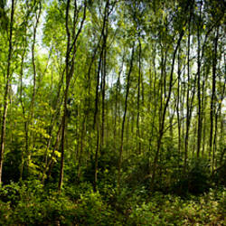 Trees in a forest, Blue Boar Woods, Norwich, Norfolk, England