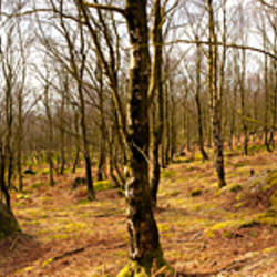Bare trees in a forest, Hathersage, Peak District, Sheffield, England