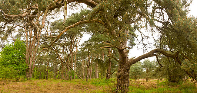 Scots Pines (Pinus sylvestris) trees in a forest, East Wretham Heath, Breckland, Norfolk, England