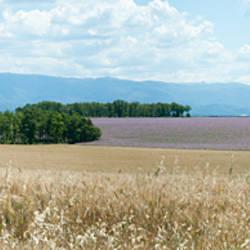 Wheat field near D8, Plateau de Valensole, Alpes-de-Haute-Provence, Provence-Alpes-Cote d'Azur, France