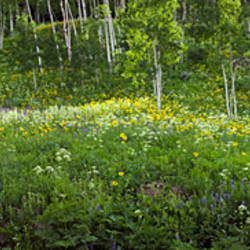 Aspen trees and wildflowers on hillside, Crested Butte, Gunnison County, Colorado, USA