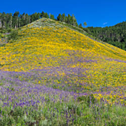 Sunflowers and larkspur wildflowers on hillside, Colorado, USA