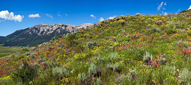 Flowers and whetstone on hillside, Mt Vista, Colorado, USA