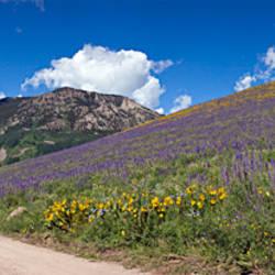 Brush Creek Road and hillside of sunflowers and purple larkspur flowers, Colorado, USA