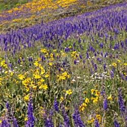 Hillside with yellow sunflowers and purple larkspur, Crested Butte, Gunnison County, Colorado, USA