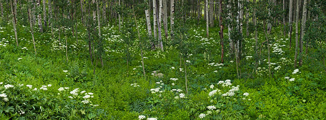 Yarrow and aspen trees along Gothic Road, Mount Crested Butte, Gunnison County, Colorado, USA