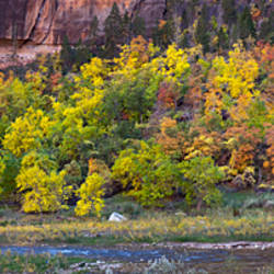 Virgin River and fall foliage at Big Bend, Zion National Park, Springdale, Utah, USA