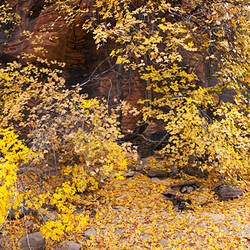Yellow leaves in dry creek bed, Springdale, Utah, USA