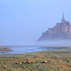 Sheep grazing in meadow at morning, Mont Saint-Michel, Normandy, France