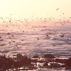 Seagulls flying at a coast in the morning, Baie De Quiberon, Quiberon, Morbihan, Brittany, France