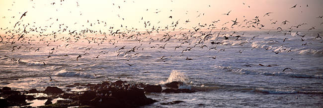 Seagulls flying at a coast in the morning, Baie De Quiberon, Quiberon, Morbihan, Brittany, France