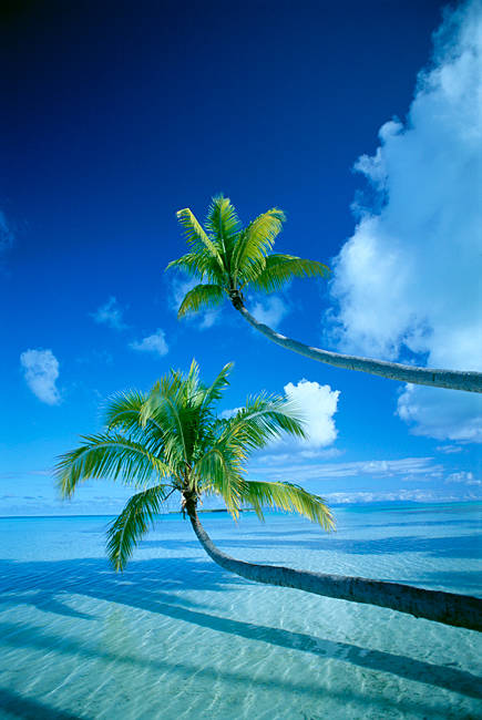 Palm trees bending over the sea