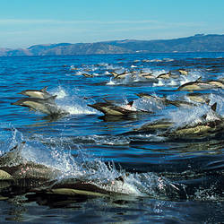 School of Common dolphins swimming in the sea
