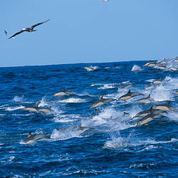 School of Common dolphins playing in the sea