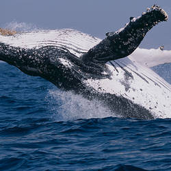Humpback whale (Megaptera novaeangliae) breaching in the sea