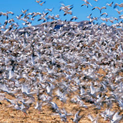 Flock of Snow geese (Chen caerulescens) flying, Bosque Del Apache National Wildlife Reserve, Socorro County, New Mexico, USA