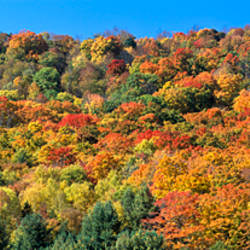 Trees on a hill, Searsburg, Bennington County, Vermont, USA