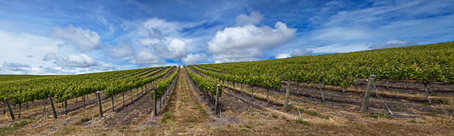 Vines in a vineyard, San Luis Obispo, San Luis Obispo County, California, USA