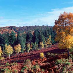 Trees on a hill, Trendlebere Down, Dartmoor, Devon, England