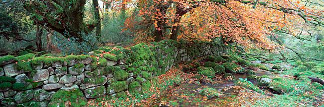 Trees overhanging a stone wall, Dartmoor, Devon, England