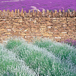 Lavender growing beside dry-stone wall, Somerset, England