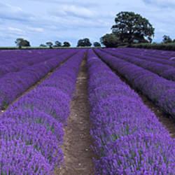 Lavender field, Faulkland, Somerset, England