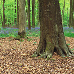 Bluebells and beech trees in a forest, Micheldever, Hampshire, England