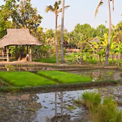 Farmer working in a rice field, Chiang Mai, Thailand