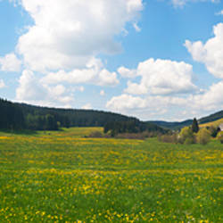 Wildflowers in a field, Black Forest, Baden-Wurttemberg, Germany